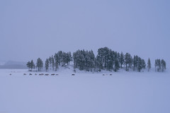 Reindeers on the icy lake (knipslog.de) Tags: arcticfalls arjeplog schnee schweden storforsen waterfall panorama polarlights snow winter ice reindeer caribou