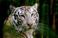 🐯 (rom.cb88) Tags: tigreblanco tigre naturaleza animalsalvaje
