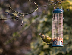 Blue tit and Green Finch argue over feeder position (Cagey75) Tags: garden birds february 2017 nature feeders supermctakumar200mmf4 fujixt1