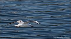 Gaviota-reidora (Neli Martin) Tags: gaviota reidora vuelo mar galicia nelimartin