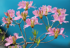 Pink & Blue (bigbrowneyez) Tags: flowers blossoms azaleas pinkblue gorgeous amazing bright light sunny fiori luce nature natura pretty lovely special fabulous beautiful shrub belli bellissimi charming elegant delicate precious tribute cheer mycar