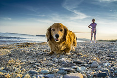 Taking Lady for a walk (gopper) Tags: dachshund dog holly hairy beach sea seaside pwllheli gwynedd wales welsh tiny small golden noisey yaps nikon d7100 ngc lleyn llŷn llyn peninsula summer