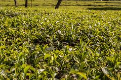 Assam_060 (SaurabhChatterjee) Tags: assam countryside guwahati httpsiaphotographyin india lakhimpur rural saurabhchatterjee siaphotography tea teagardens tezpur village