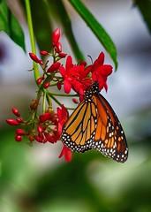 Monarch (jimlaskowicz) Tags: bright bokeh usa phoenix arizona wings beauty colorful natural digital photography spring flower nature d5500 nikon northamerica america butterfly monarch white black orange