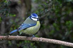 Blue Tit ... Parus caeruleus