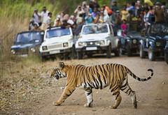 1194587 (seikkailijattaret.fi) Tags: bengaltiger clearedforglobaluse tourism th asia bigcats carnivores endangered horrific india mammals photography poeple reserve safari tigers vehicles wildlifewatching