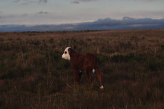 vaquinha (lucasmachadof) Tags: brazil baby sc 50mm cow nikon m42 bebe santacatarina pentacon f18 vaca vaquinha pentacon50mmf18 d5000 nikond5000 bebevaquinha