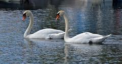 Mute Swans / Kyhmyjoutsenet (L.Lahtinen (nature photography)) Tags: summer swans muteswans joutsenet kyhmyjoutsenet luonto lake järvi nature nikon finland flickr vesi water birds linnut vesilinnut waterfowl kesä birdlife wildlife vesijärvi d3200 nikond3200 europe