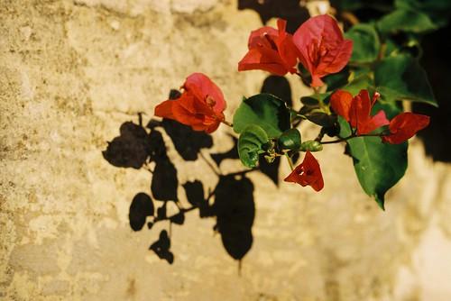 Malta - Flowers