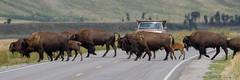 IMG_4571 Bison Herd (cmsheehyjr) Tags: nature buffalo wildlife wyoming bison grandtetonnationalpark antelopeflats colemansheehy cmsheehy