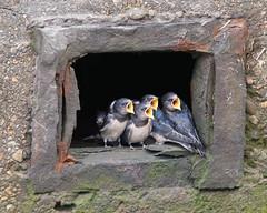 Swallows-2316 (kevinmayhew62) Tags: baby birds birdwatching swallows