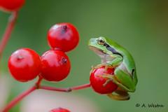 European treefrog (a3aanw) Tags: groen frog rood treefrog kikker boomkikker