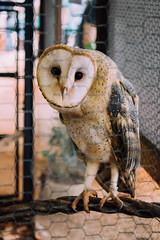 (Rebeca Campagnoli) Tags: owl coruja das masked barnowl torres catlica 2015 tytonidae suindara exploflora rasgamortalha