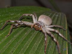 Sparassidae Huntsman Spider DSCF2467 (Bill & Mark Bell) Tags: exmouth westernaustralia australia geo:town=exmouth geo:state=westernaustralia geo:country=australia geo:lon=11425453egeolat2217752sgeoalt8m 11425453e2217752salt8m taxonomy:kingdom=animalia animalia taxonomy:phylum=arthropoda arthropoda taxonomy:class=arachnida arachnida taxonomy:order=araneae araneae taxonomy:superfamily=sparassoidea sparassoidea taxonomy:family=sparassidae sparassidae taxonomycommonnamehuntsmanspider huntsmanspider spider