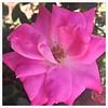Rose macro ~ HMM & HTT! (karma (Karen)) Tags: flowers roses texture home vibrant maryland baltimore brightcolors macros hmm squared 4summer iphone intheneighborhood htt macromondays cmwdpink