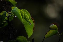 leaves (Maria Zeligen /Zeligen/) Tags: tree nature naturelovers
