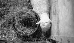 Sheep with Straw Bowl.  Minneapolis, 2015  L_M6_11632 (erlin1) Tags: people blackandwhite bw usa film analog 35mm print sheep statefair minneapolis august negative visible negativescan printed mn v1 leicam6 mnstatefair 2015