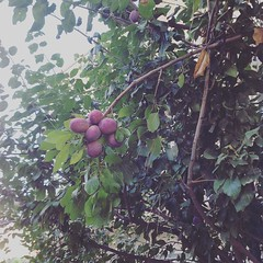 #plum #nature #plumtrees #fruit #fruits #fresh #organic (makeuptemple) Tags: nature fruits fruit plum fresh september organic 18 2015 plumtrees 0637am