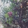 #plum #nature #plumtrees #fruit #fruits #fresh #organic (makeuptemple) Tags: nature fruits fruit plum fresh september organic 18 2015 plumtrees 0637am
