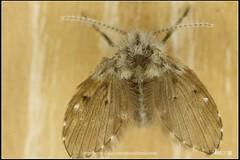 _3X_APSC_03 () Tags: macro canon flickr f e wen wesley mp 28 mm ho dslr f28 animalia arthropoda chen 65 1x diptera 2x  4x insecta mpe 65mm 3x   5x hexapoda pterygota neoptera endopterygota howen  psychodidae  450d nematocera 15x  psychodomorpha albipunctata clogmia  chenhowen   wesleychen  clogmiaalbipunctata psychodoidea