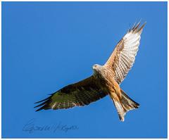 Red Kite 3 (candicemorganphotography) Tags: sky bird action flight raptor birdofprey acrobatic redkite sonyalpha850 sony70400mmf4056g2