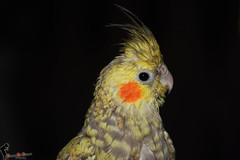 A bird (a_ali1993) Tags: bird lovely طير a كوكتيل طائر الكوكتيل