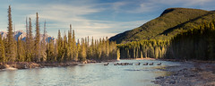 Small-1092 (kayaker72) Tags: banff elk bowriver albertacanada banffnationalpark elkherd