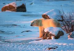 Shadow (Johnny PhotosUSA) Tags: bear canada animal churchill polar