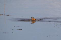 CJW_7751 kingfisher (chrisj8684) Tags: bird water pool kingfisher bridgend kenfig