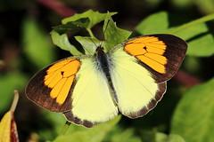 Ixias pyrene insignis (male) 異粉蝶 (雄) (YoyoFreelance) Tags: insignis pyrene ixias 雌白黃蝶 橙粉蝶 異粉蝶
