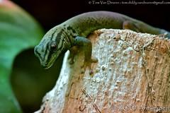 Azuurblauwe daggekko - Lygodactylus williamsi - Turquoise Dwarf Gecko (MrTDiddy) Tags: zoo blauw dwarf reptile turquoise gecko antwerp dag blauwe antwerpen zooantwerpen gekko reptiel reptillian williamsi lygodactylus azuur daggekko azuurblauwe
