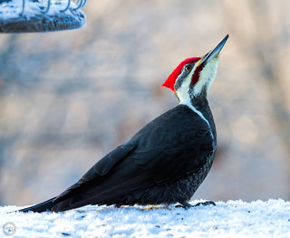 Pileated Woodpecker (Explored Dec 1, 2015 #211)