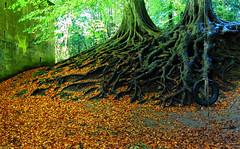 Huge Beech Roots! ('cosmicgirl1960' NEW CANON CAMERA) Tags: autumn trees nature wall writing graffiti play text swing manmade beech tyre yabbadabbadoo