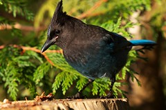 Dining table (Adam Wang) Tags: bird nature jay wildlife stellers