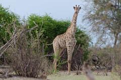 Giraffe (brainstorm1984) Tags: giraffacamelopardalis botswana wildlife makgadikgadi leroolatau giraffe giraffacamelopardalisangolensis desertdeltasafaris safari makgadikgadipansgamereserve makgadikgadipansnationalpark