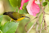 Olive-backed Sunbird (female) (petefeats) Tags: australia birds emupark nature nectariniajugularis nectariniidae olivebackedsunbird passeriformes queensland female immature