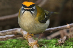 FIRECREST / FROM MY ARCHIVES. (Tom Webzell) Tags: naturethroughthelens