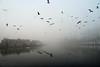 Bree (Luc Herman) Tags: elements limburg bree mist fog foggy misty ca canal kanaal duck eend belgium belgië flanders outdoor outside travel