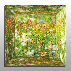 A mirror box of Texas wildflowers (hz536n/George Thomas) Tags: 2015 ef300mmf4lisusm flora flower wildflower austin texas cs5 copyright canon5d spring mirror mirrored box reflection