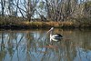Pelican at Loxton_8176.jpg (ImaginingsLifeImages) Tags: animalia aves pelecanus nature waterbird birds landscapes conspicillatus sa reflections scenes loxton wildlife water river chordata australia pelecaniformes pelecanidae animals fauna australianpelican places pelican