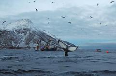 Hello there. A humpback trying to get our attention. (Snemann) Tags: k5 kvaløya smcpda1650mmf28edalifsdm pentaxk5 marine whales animals orca megapteranovaeangliae norway troms winter atsea atwork fishingboat fishermen coastlines coast arctic tromsø buoyant