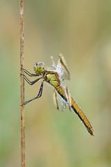 am Morgen (rudolfaurnhammer) Tags: natur tiere insekten libellen heidelibellen gebänderteheidelibelle morgentau makro