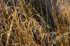frosty_forest_14 (ashieber) Tags: grasses morning dew dewy dewdrops bejewelled woodland woods