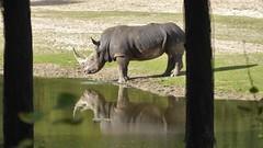 Cooling down (m_artijn) Tags: rhino lake drink cool down burgers zoo anrhem nl sun