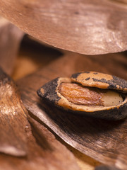 (marina_felix) Tags: itsapeelingtome macromondays macro brown food texture seed wild pine nut