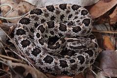 Pigmy Rattlesnake (Sistrurus miliarius barbouri) (Ian Deery) Tags: pigmy rattlesnake snake pygmy ground rattler sistrurus miliarius barbouri herp herping ian deery sony a55 1855 field guide florida everglades