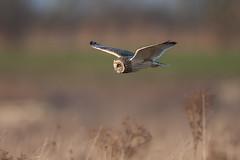 Short Eared Owl @ Burwell (Bob G2007) Tags: birds cambridgeshire europe places shortearedowl unitedkingdom wickenfen animal planet nature