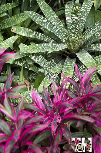 Bromeliads and Ti plants