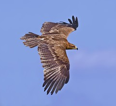 Tawny Eagle ( Aquila rapax ) - Soaring Tawny Eagle ! (Clive Brown 72) Tags: eagle african africa tawnyeagle aquilarapax soaring inflight captive summer