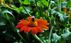 """Roll On Summer"" (standhisround) Tags: flowers flower bee orange rbg london royalbotanicalgardens nature outdoors uk kewgardens kew"